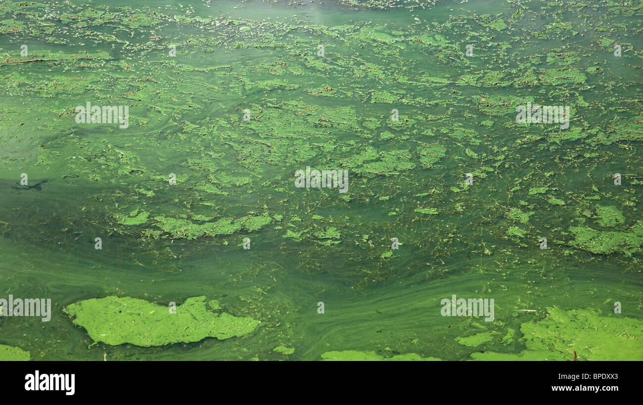 Water of local gravel pit contaminated with green algae. - Stock Image