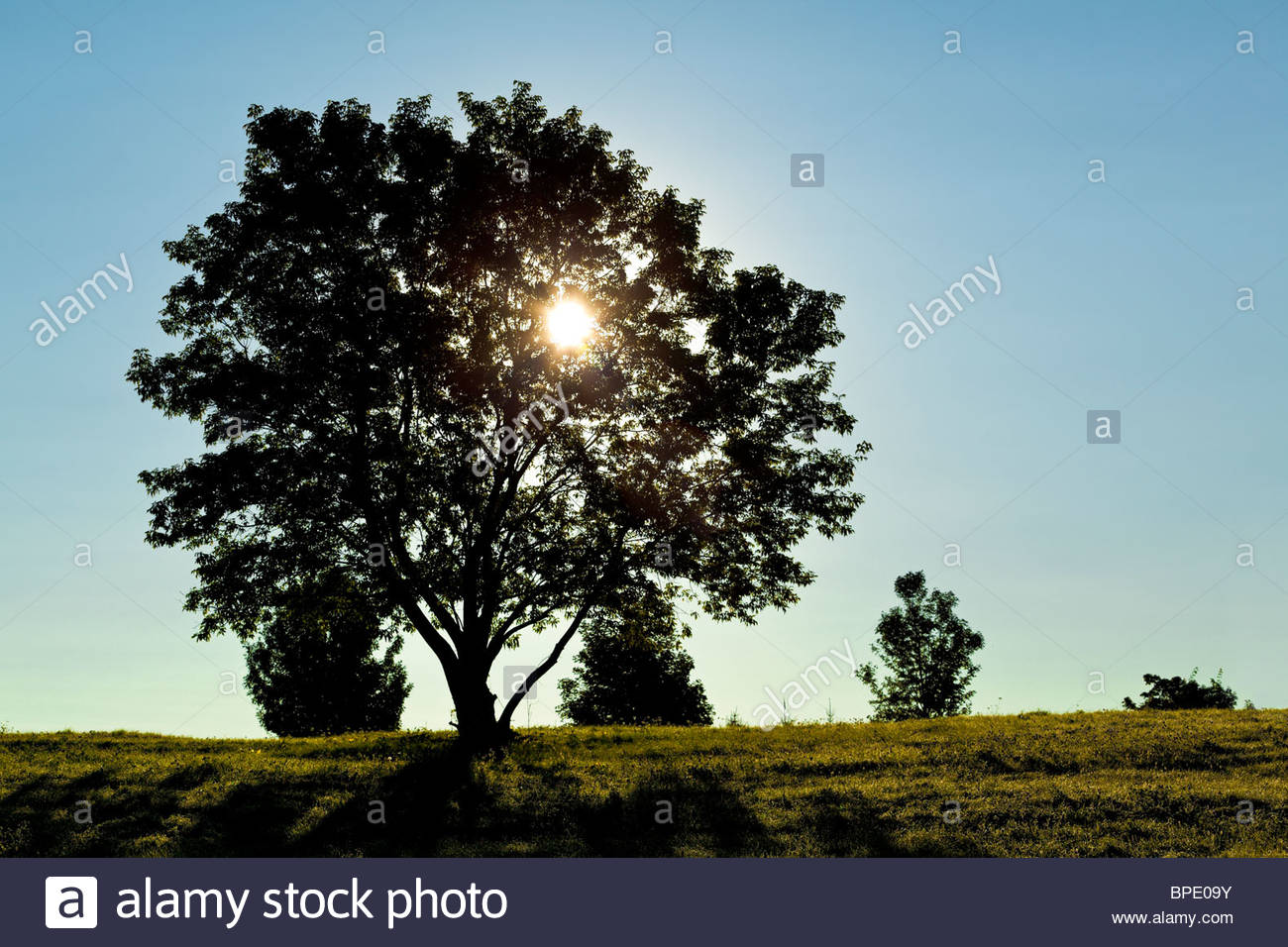 Solitary deciduous tree in early morning photosynthesis carbon - Stock Image