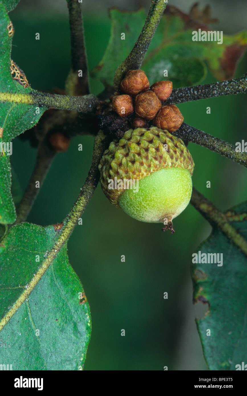 quercus alba stock photos amp quercus alba stock images alamy