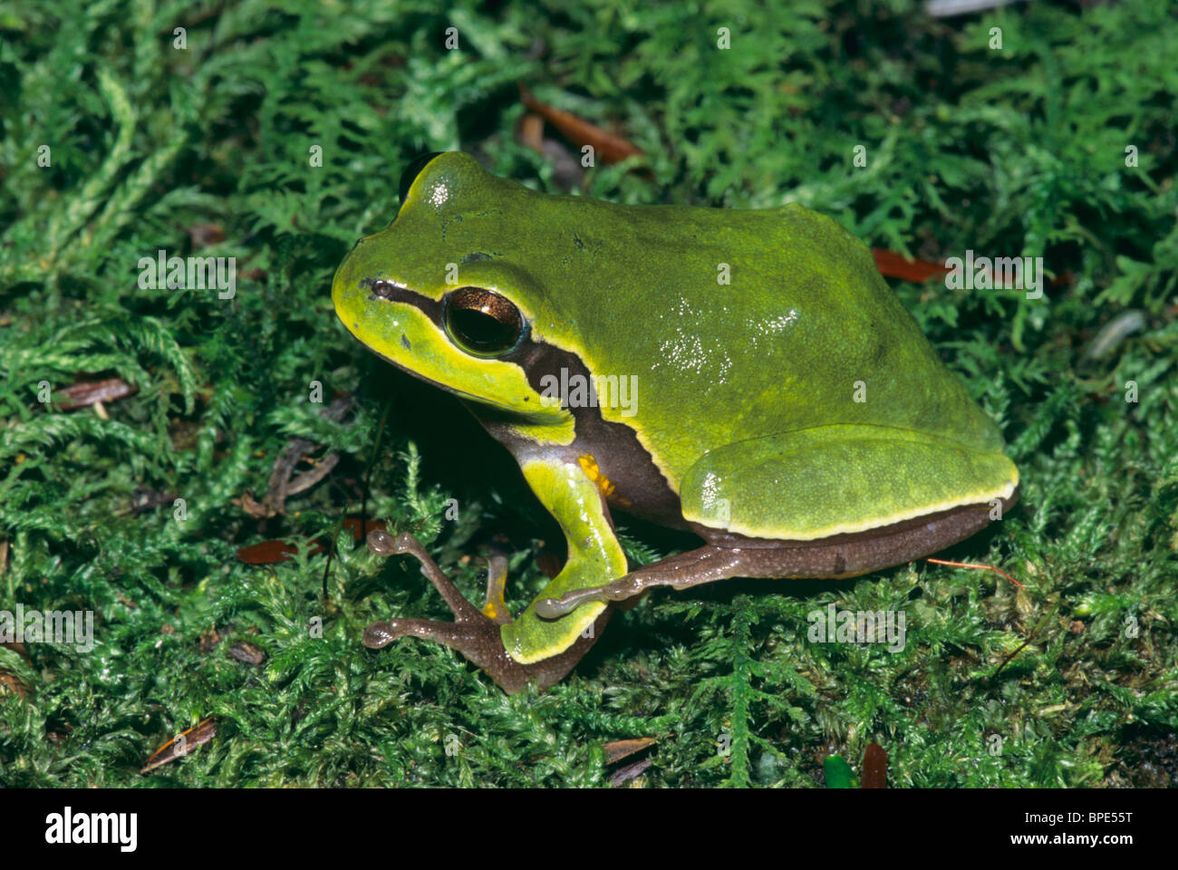 Pine Barrens Tree Frog (Hyla andersonii) in moss New Jersey USA Stock Photo