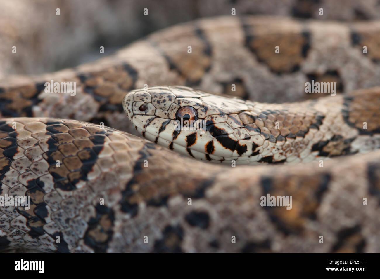 Eastern Milk Snake Stock Photos  Eastern Milk Snake Stock -8429
