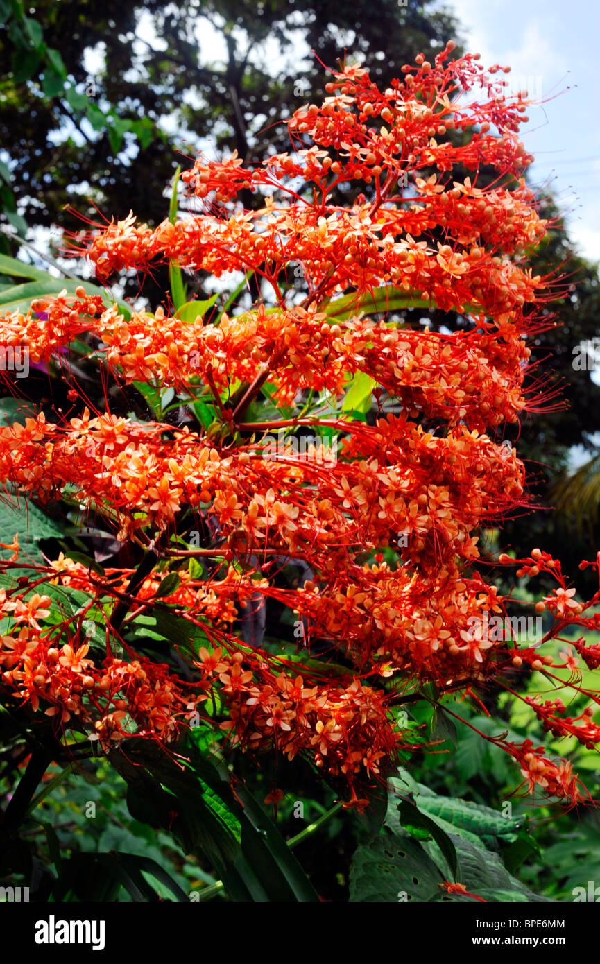 Tropical Flower Growing In Bali Red Jade Vine Mucuna