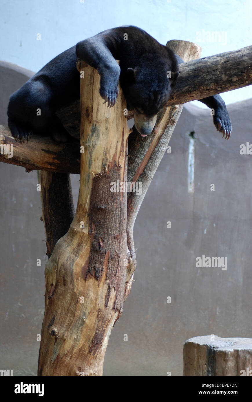 A Bear Sleeping - Stock Image