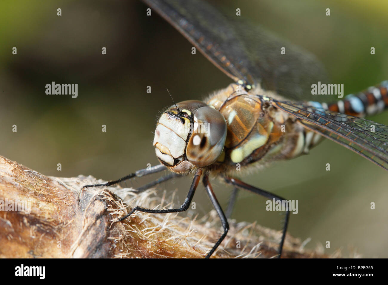 Close up images of a Migrant Hawker Dragonfly - Stock Image
