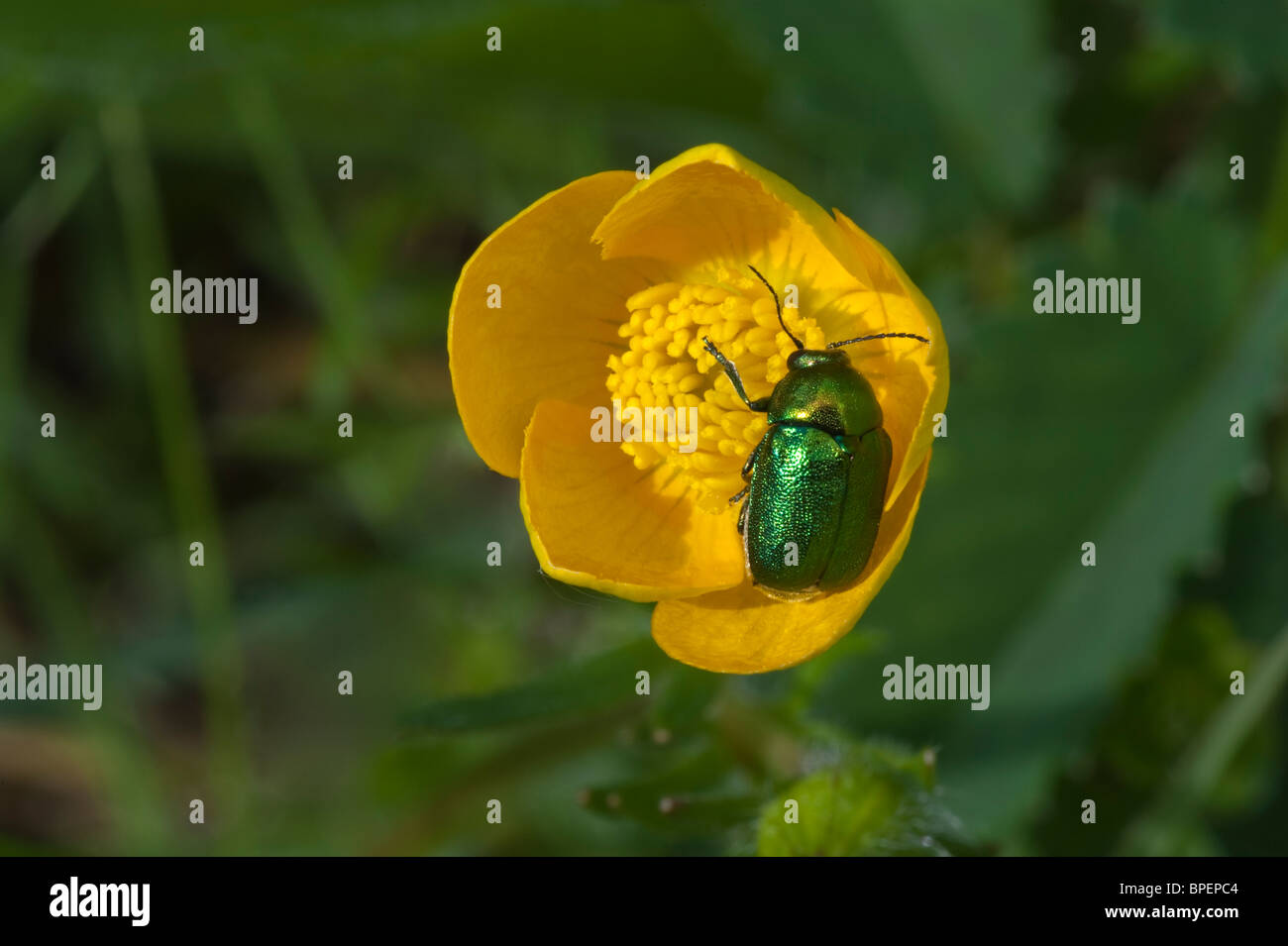 Leaf beetle (Cryptocephalus hypochoeridis) feeding on nectar Cumbria England UK Europe - Stock Image
