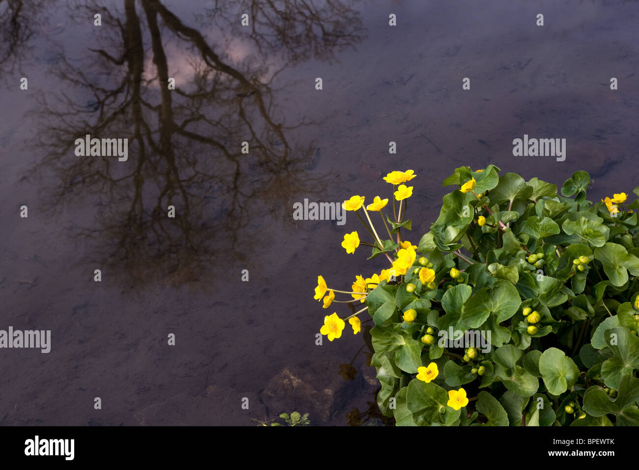 Marsh Marigold Caltha palustris growing by a slow running river reflecting tree and sky - Stock Image