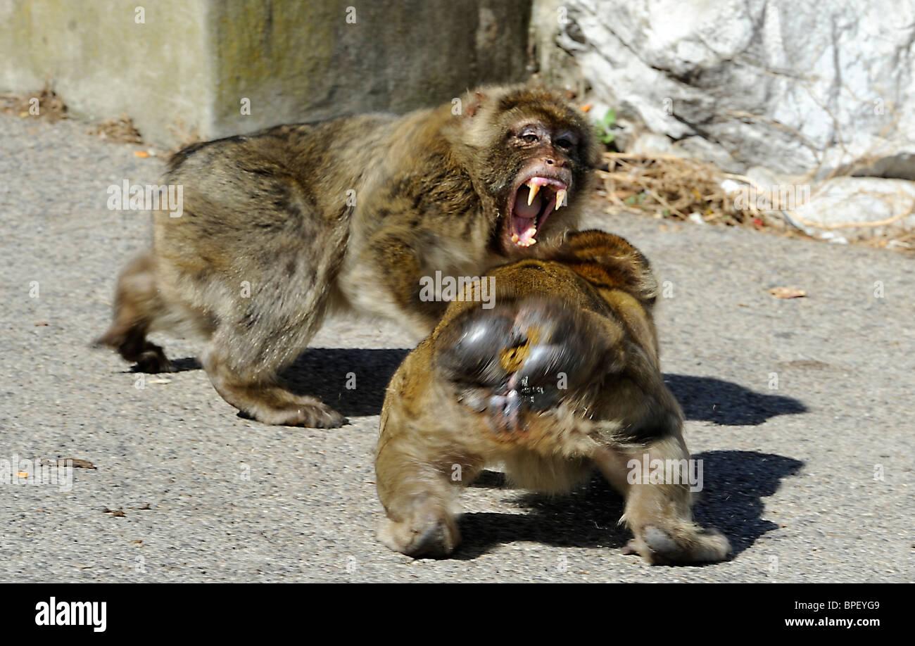 Berberaffen auf Gibraltar  Barbary ape Barbary macaque on Gibraltar - Stock Image
