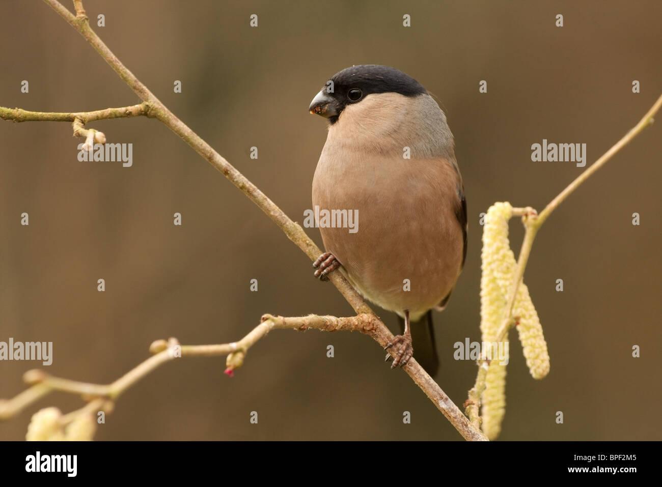 A female bullfinch and hazel catkins. - Stock Image