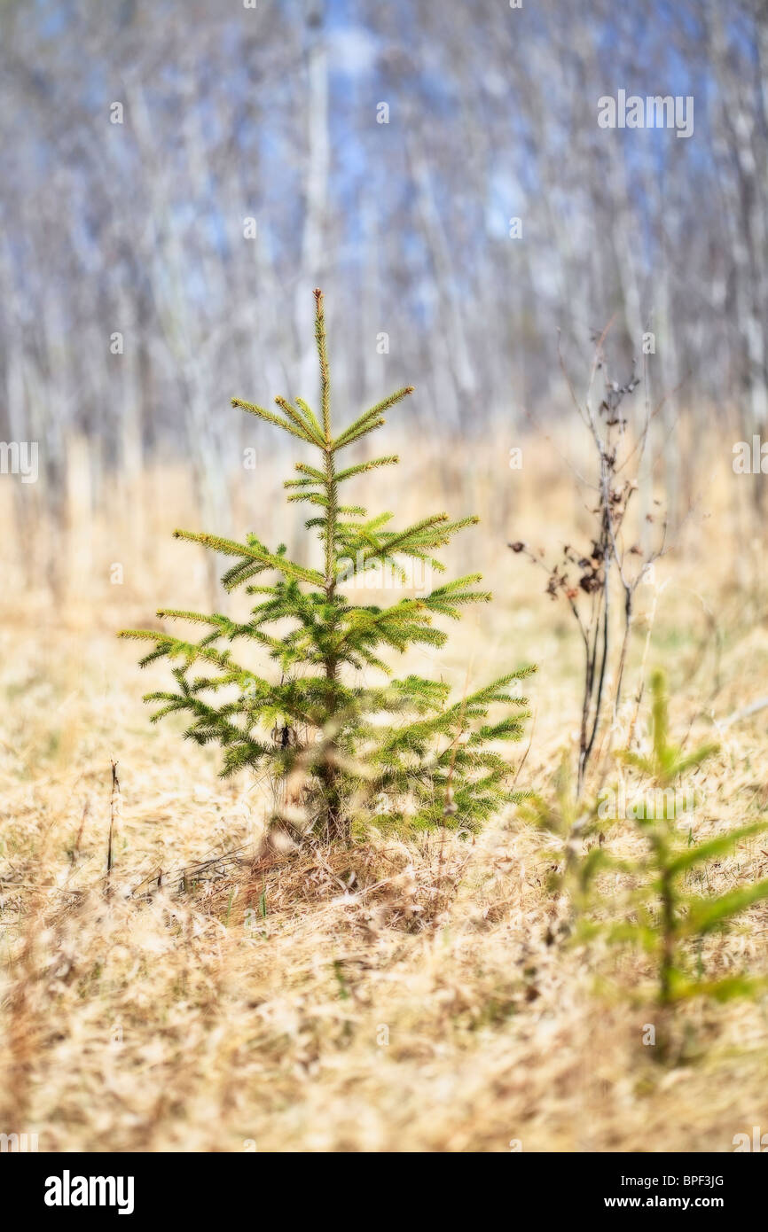 Spruce tree seedling, Birds Hill Provincial Park, Manitoba, Canada. - Stock Image