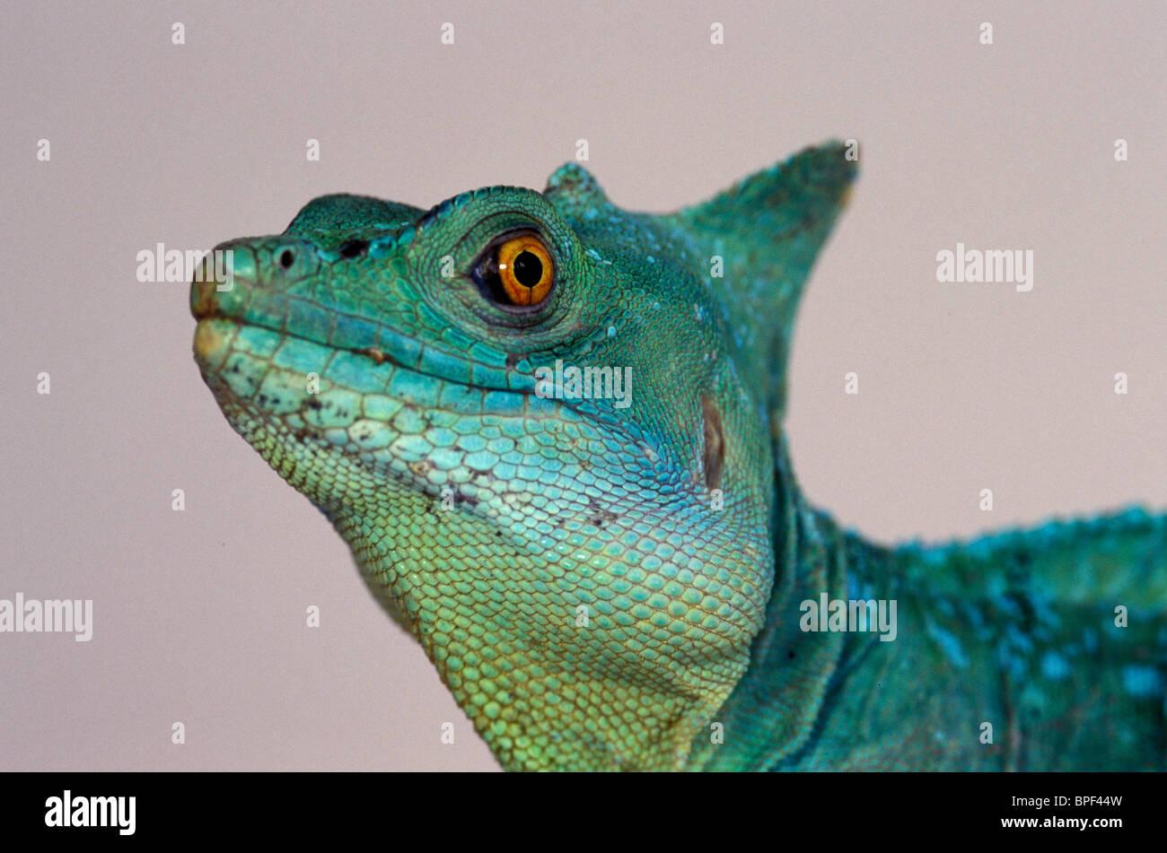 Green Basilisk (Basillicus plumifrons) - Stock Image