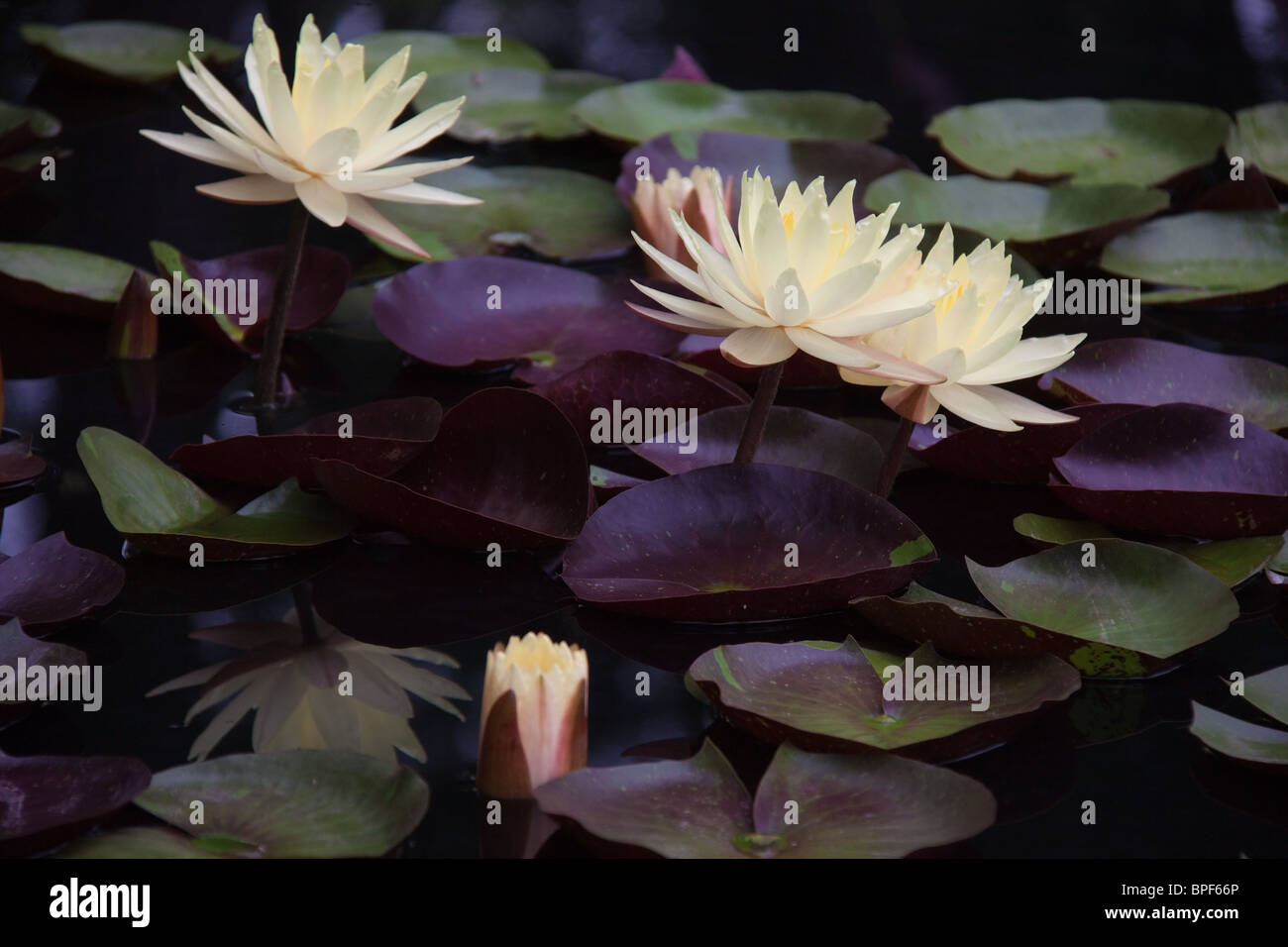 Yellow Water Lilies and Purple leaves, Duke Gardens, Durham NC - Stock Image