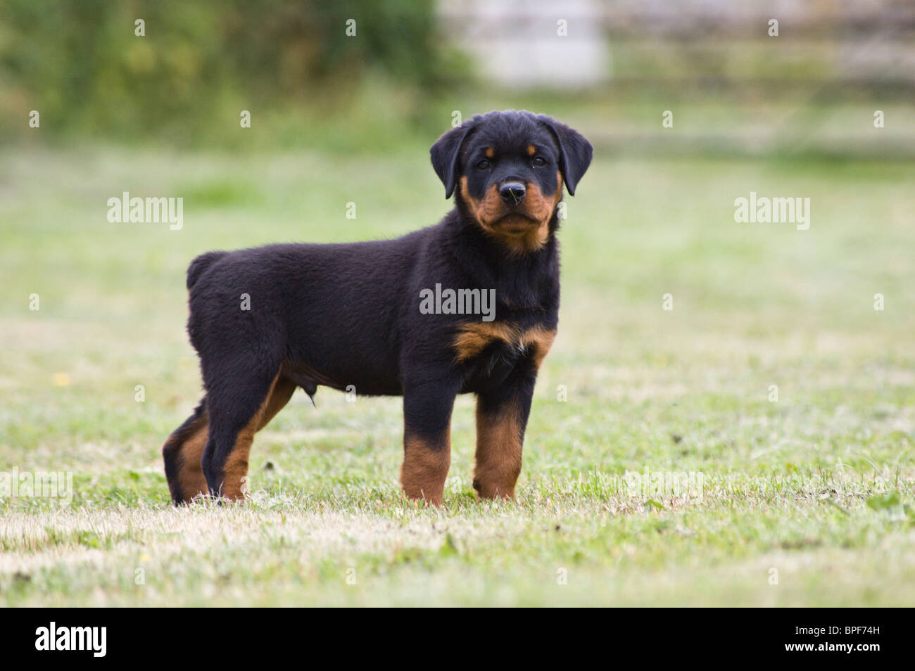 10 Week old Rottweiler puppy standing in a field Stock ...