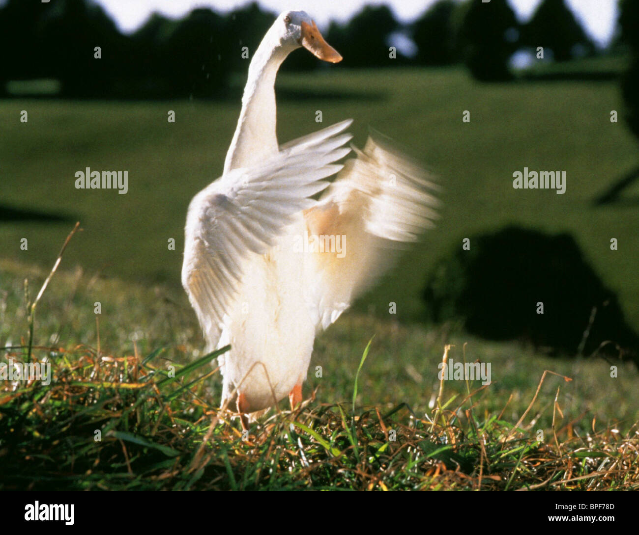 Babe Chris Noonan: FERDINAND THE DUCK BABE (1995 Stock Photo: 31067805