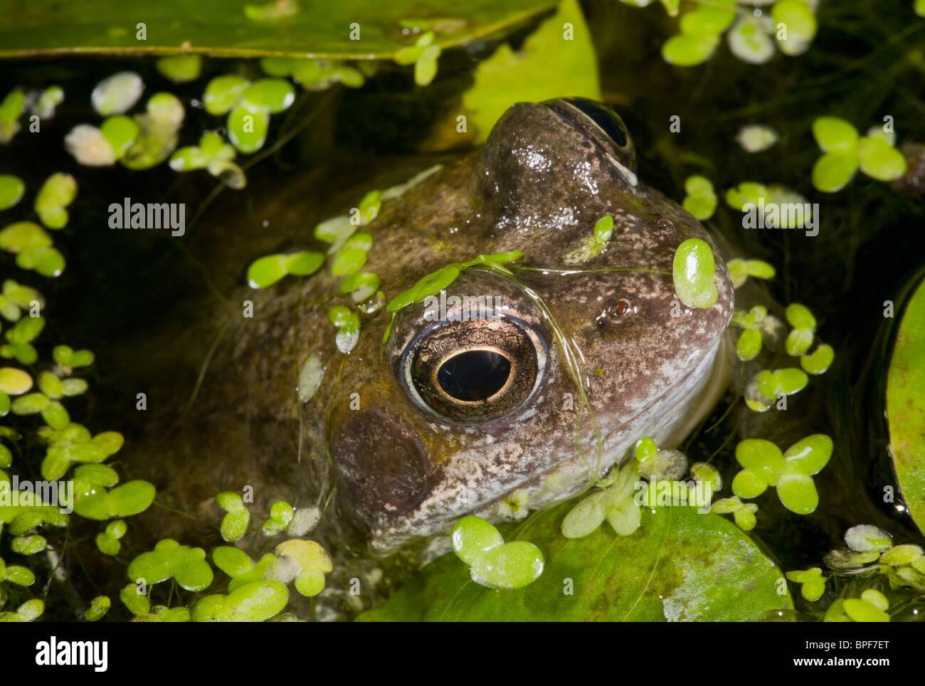 Common Frog, Rana temporaria, in garden pond with duckweeed. Dorset. - Stock Image