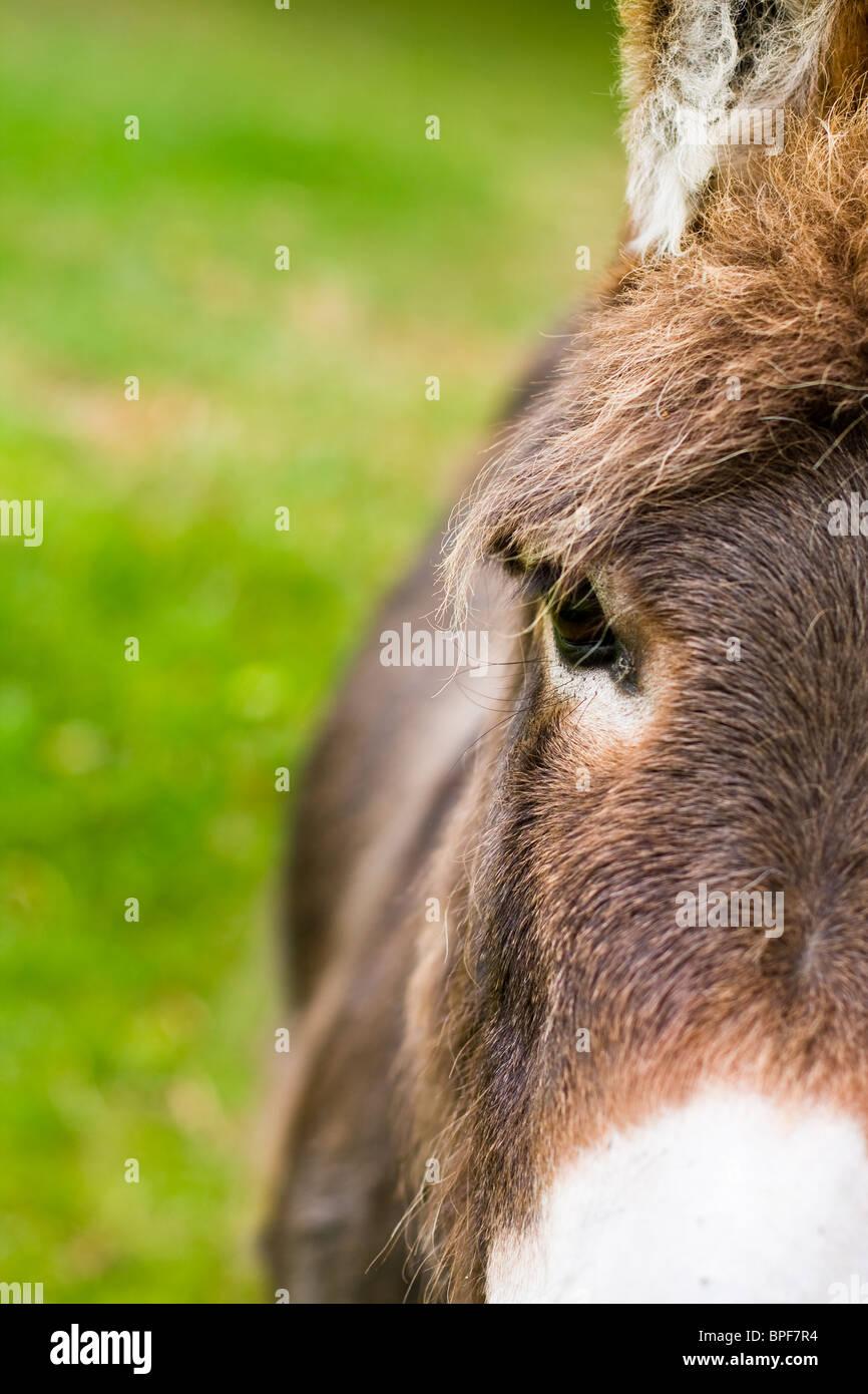 Portrait showing half of a Donkeys face. Stock Photo