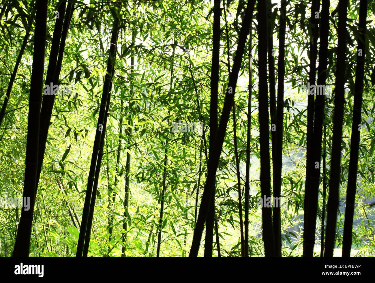 Bright bamboo forest in sunlight - Stock Image