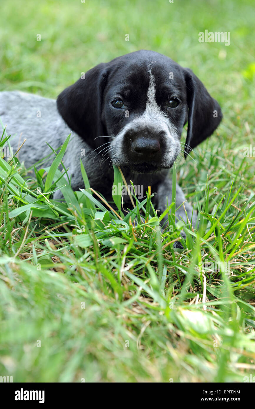 German shorthaired pointer puppy resting on grass - Stock Image