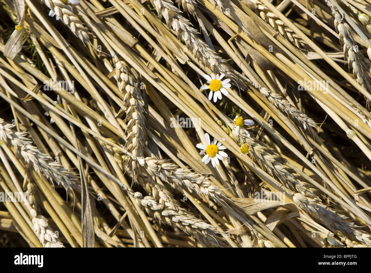 flower in the corn - Stock Image