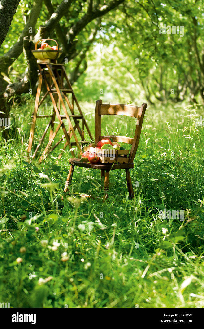 Apple picking in an orchard. - Stock Image