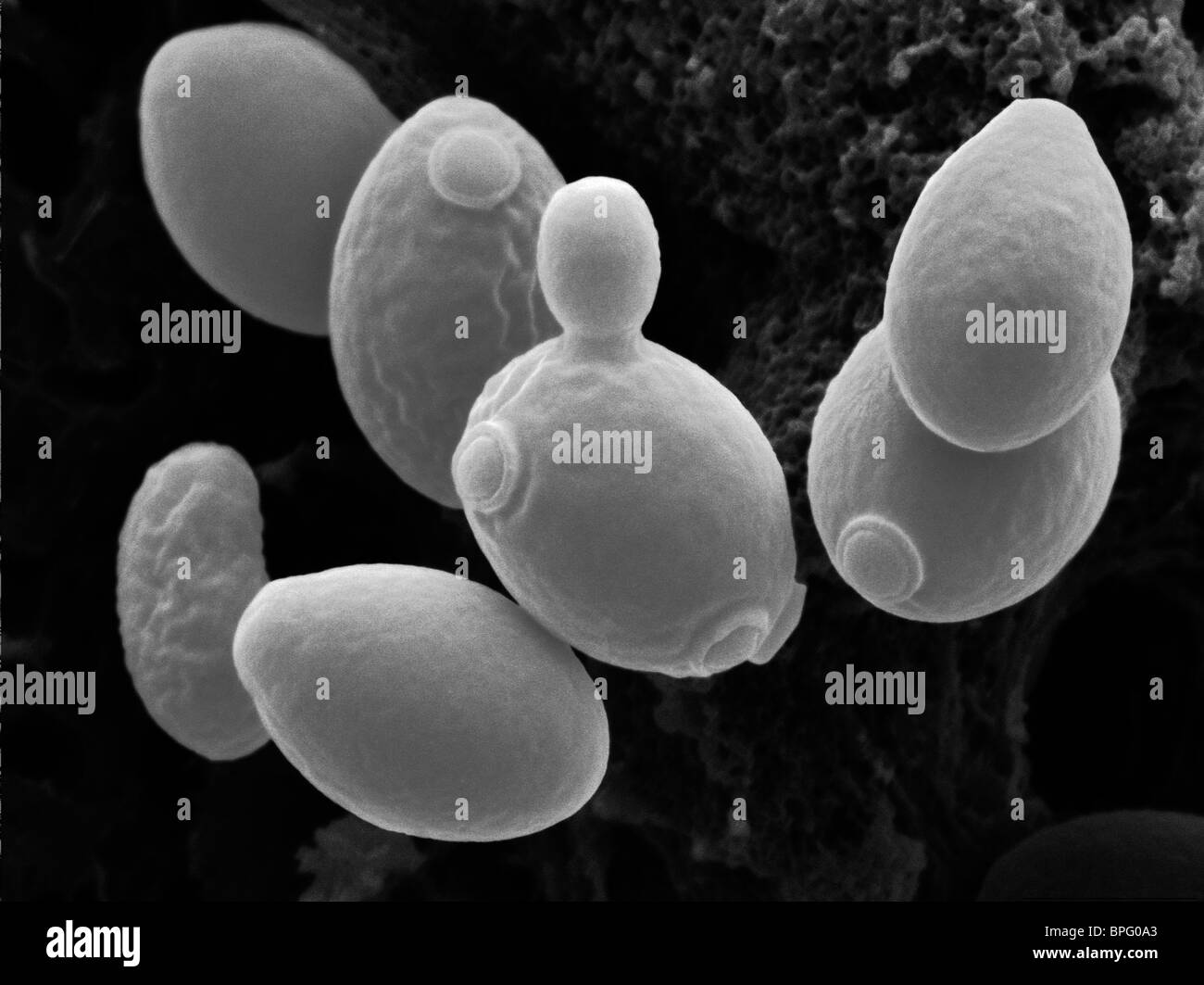 This is a false coloured scanning electron micrograph of Saccharomyces cerevisiae, budding yeast. - Stock Image