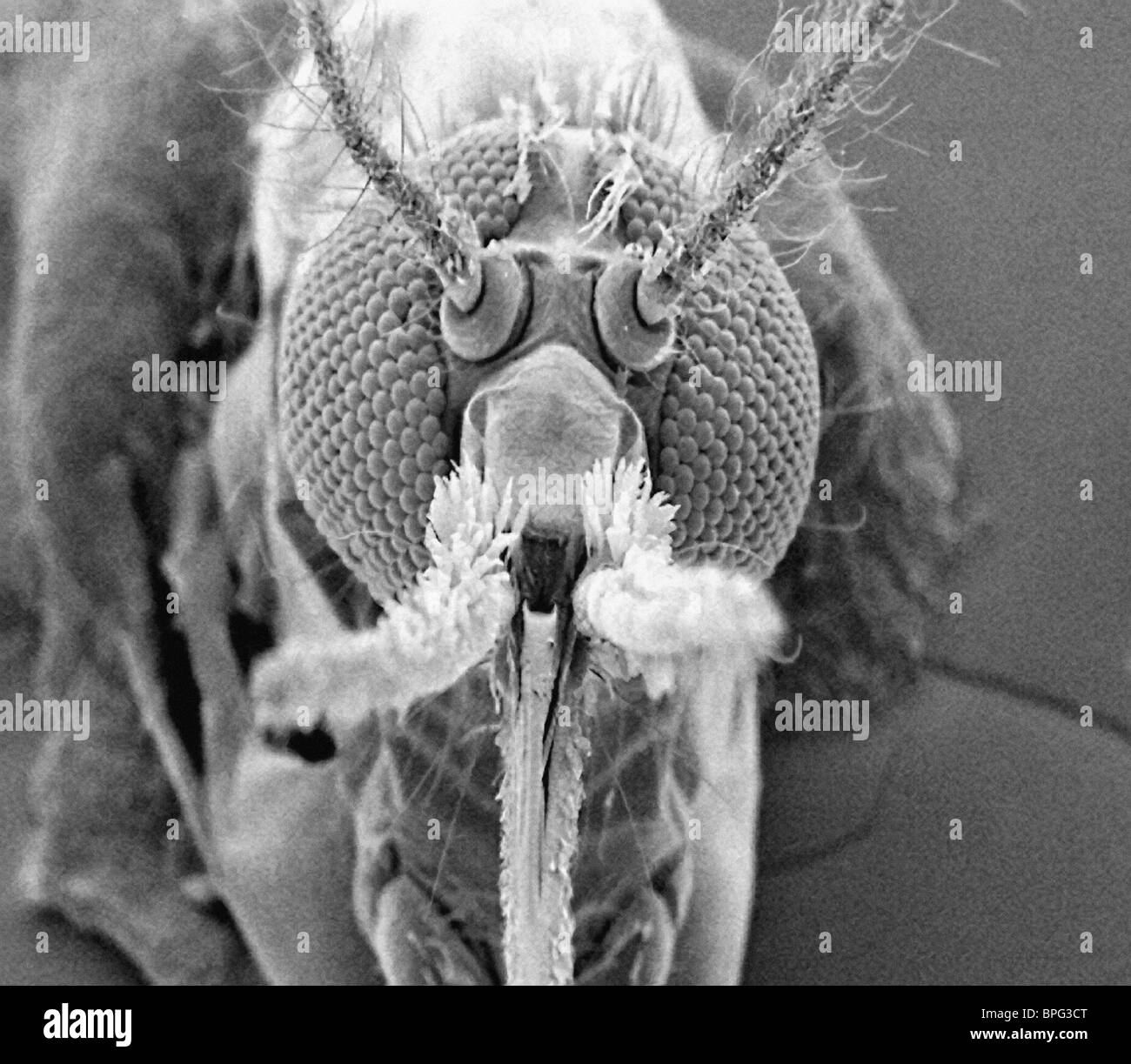Mosquito - front view taken with the scanning electron microscope. - Stock Image