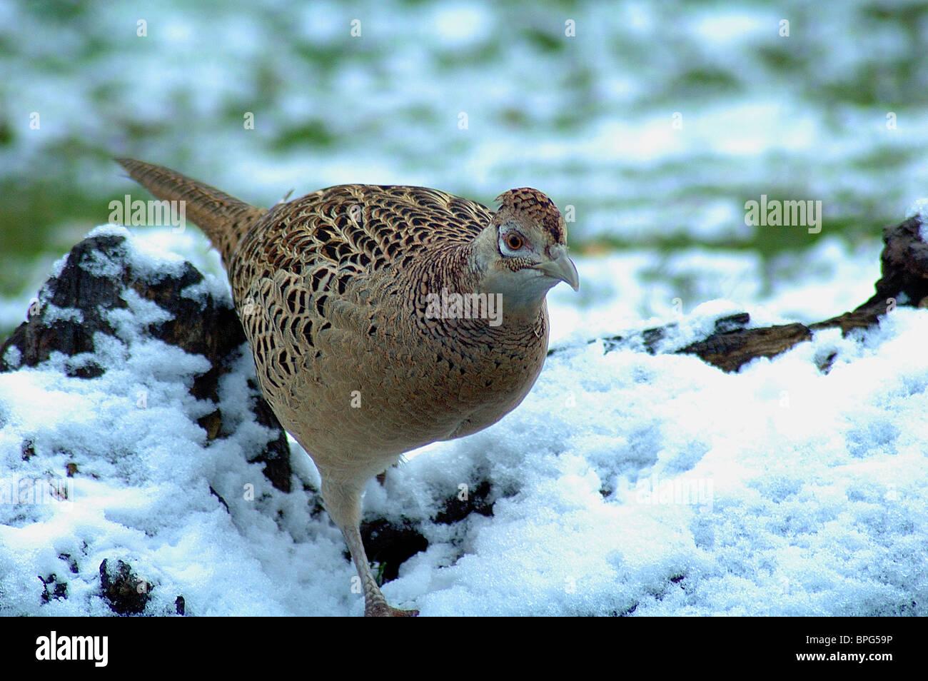 Pheasant in snow in Devon UK - Stock Image