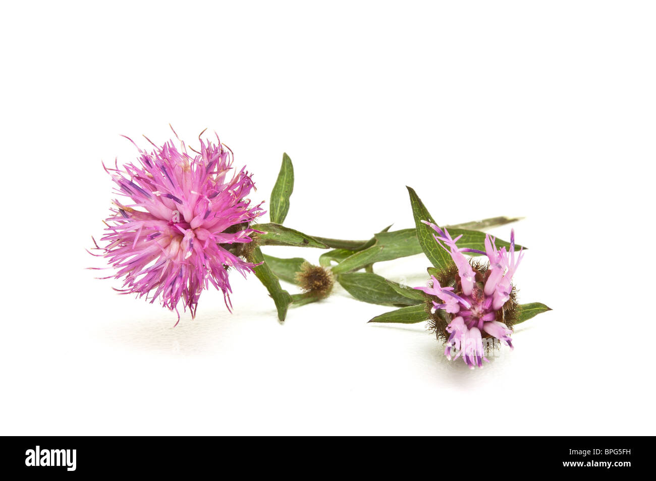 Wild Purple thistle like Flower from English hedgerow isolated on white. - Stock Image