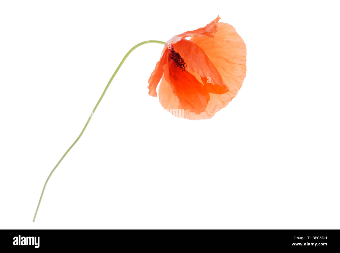 Red poppy cut-out - Stock Image