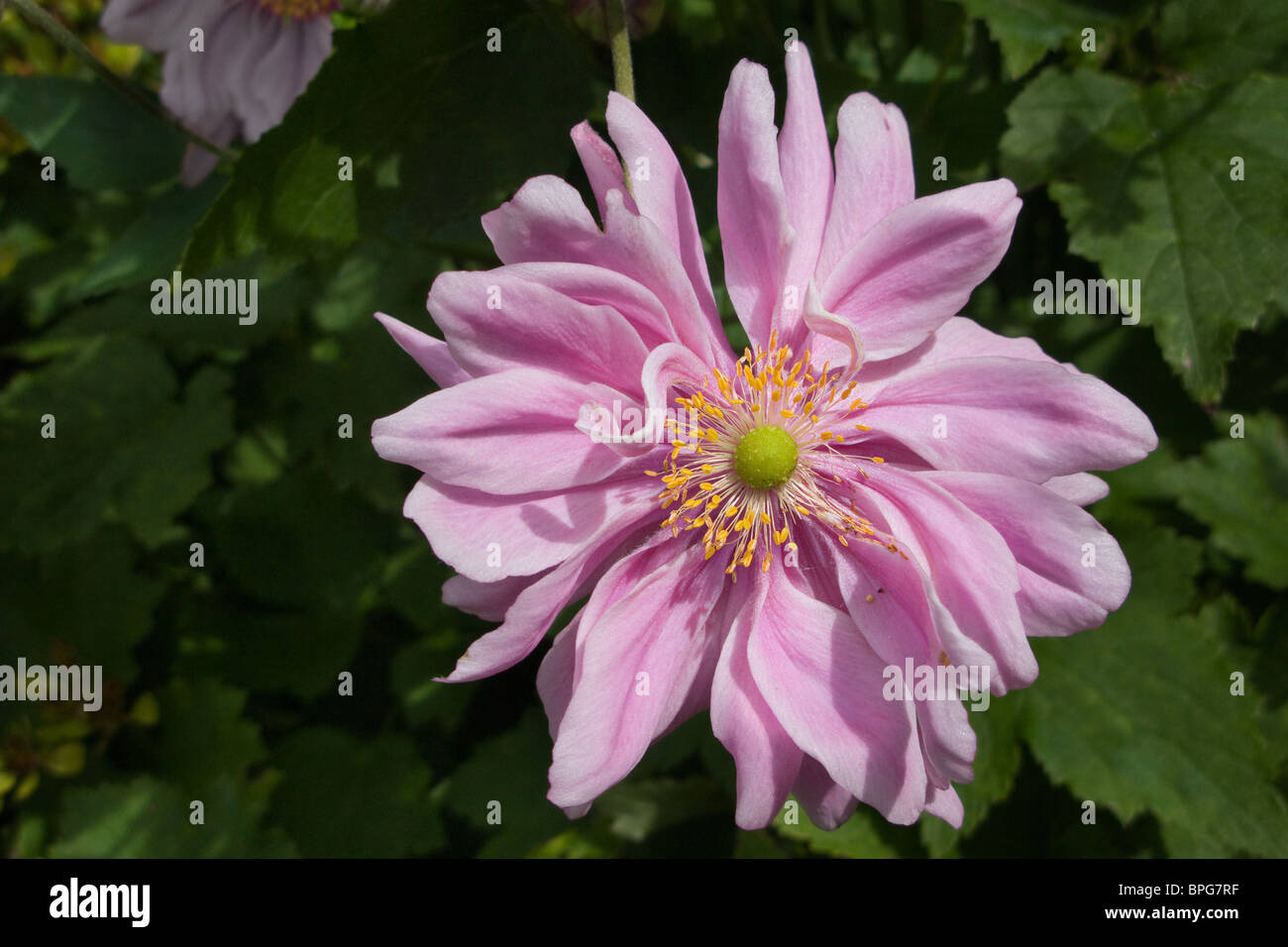 The Beautiful Pink Lady Gilmour Double Japanese Anemone Stock Photo