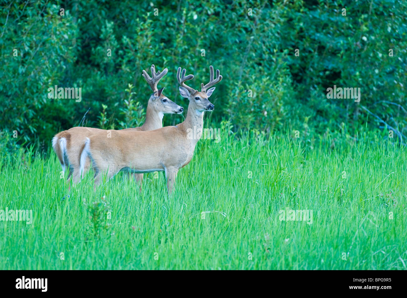 Two White-tail deer - Stock Image