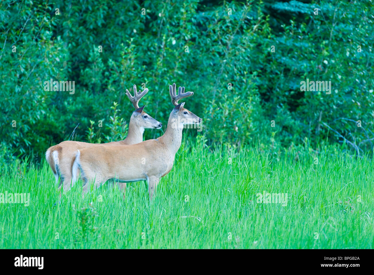 Two alert white tail deer - Stock Image