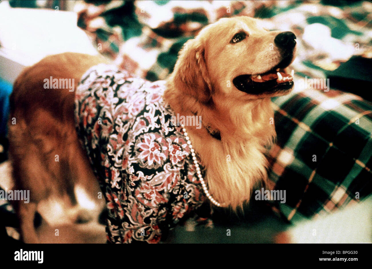 BUDDY AIR BUD: GOLDEN RECEIVER; AIR BUD 2 (1998) - Stock Image