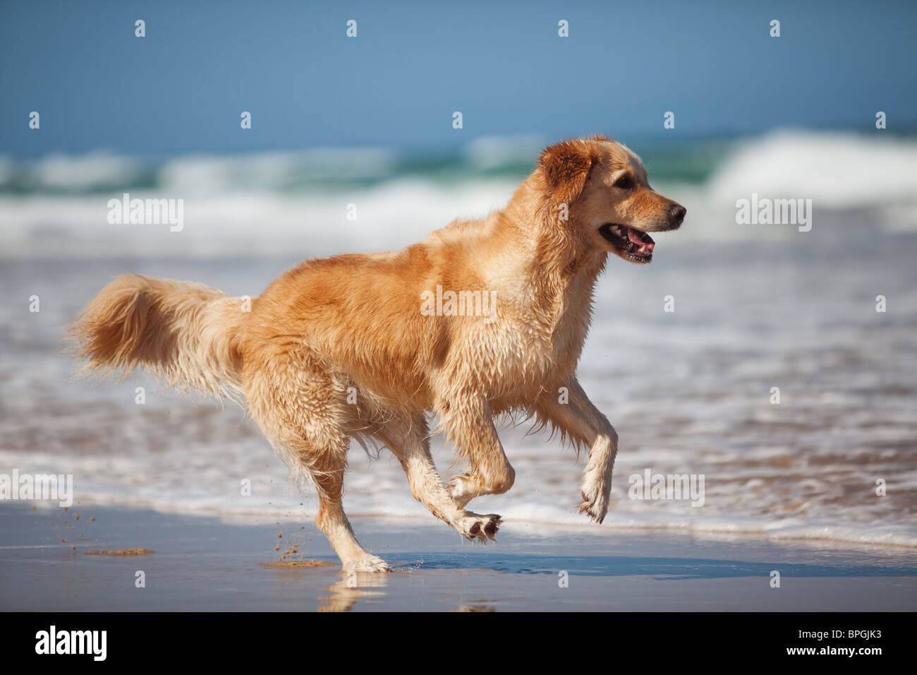 Focused young golden retriever running on the beach - Stock Image