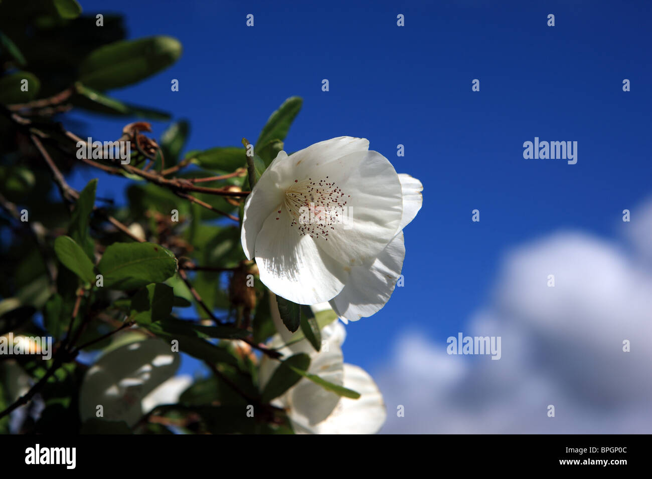 White Flowers On A Tree In Late Summer Stock Photo 31101292 Alamy