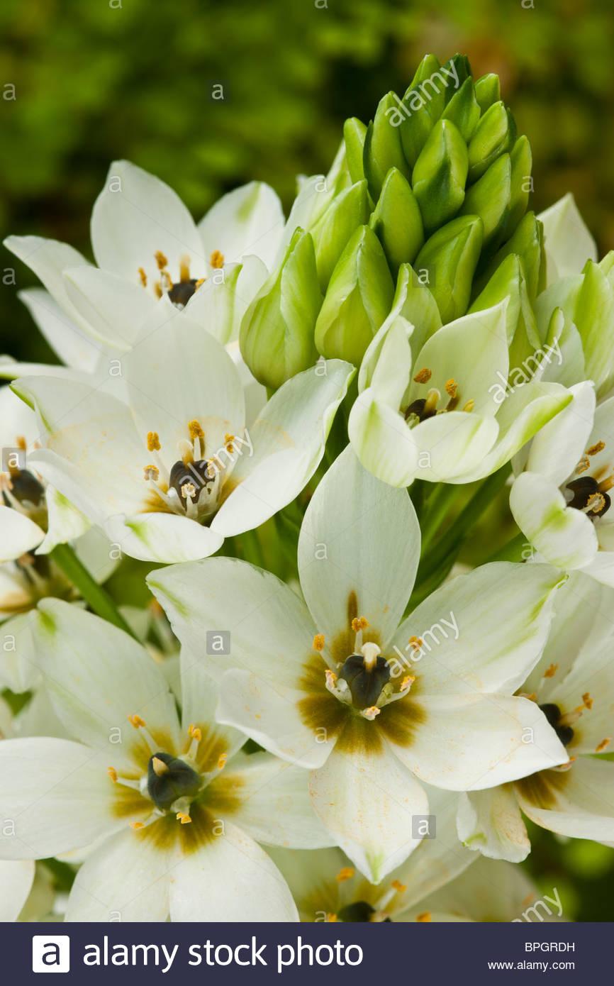 star-of-Bethlehem Ornithogalum Chesapeake Snowflake summer flower bulb white garden plant - Stock Image