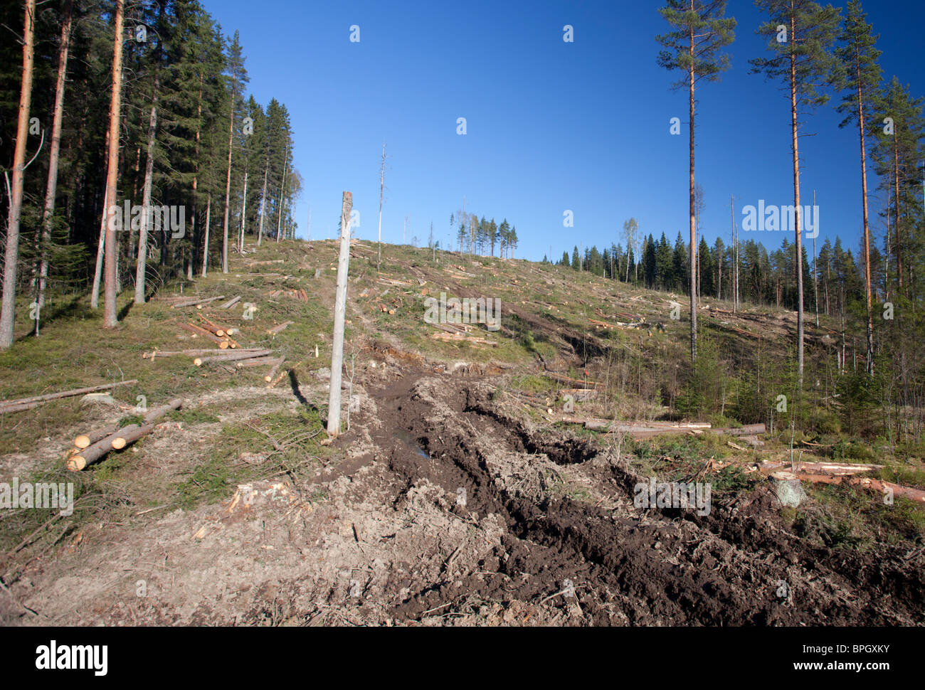 Forest harvester tracks leading to a Finnish clear cutting area in the forest , Finland - Stock Image