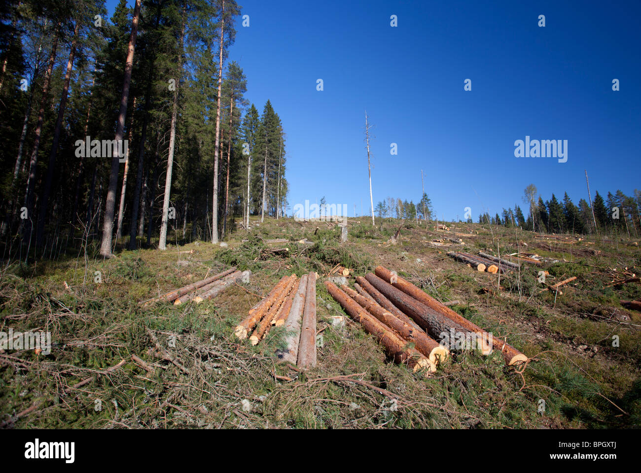 Pine and spruce logs at clear cutting area , Finland - Stock Image