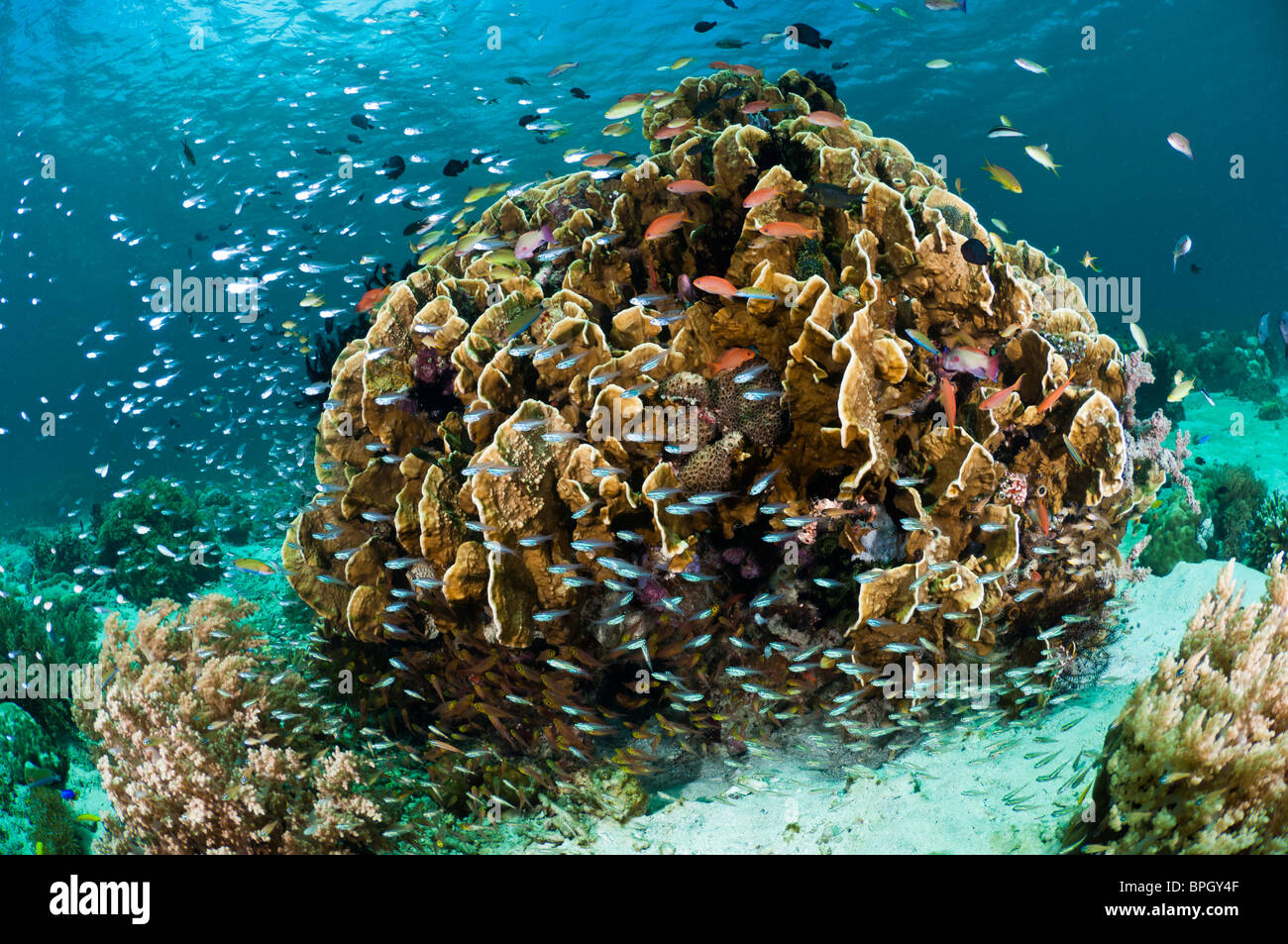 Fire coral colony surrounded by small fish, Menjangan Island, Bali, Indonesia. - Stock Image