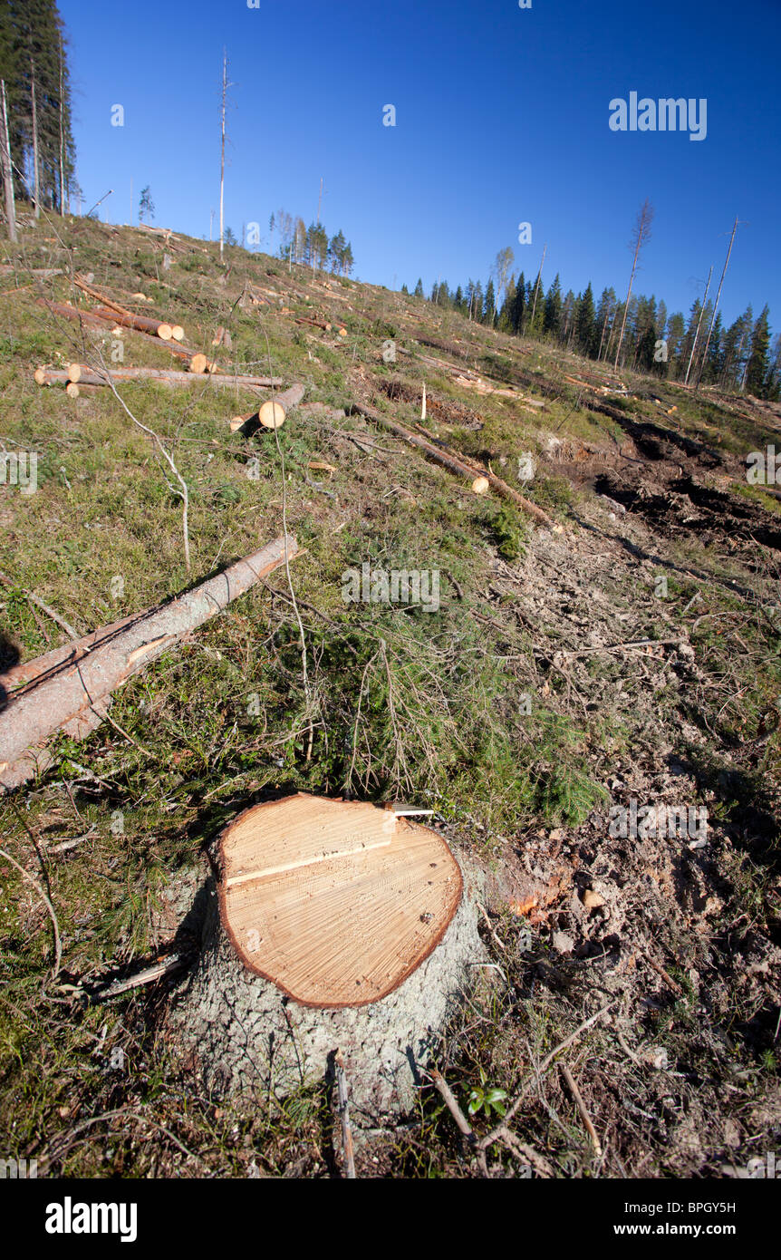 Spruce ( picea abies ) logs and tree stump at Finnish clear cutting area , Finland - Stock Image