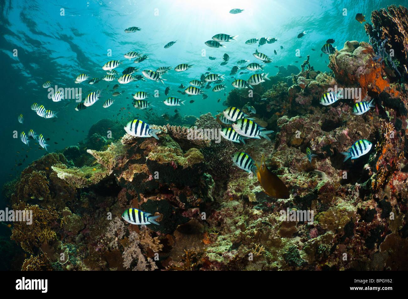 Sergeant major damselfish schooling above a reef, Menjangan, Bali, Indonesia. - Stock Image