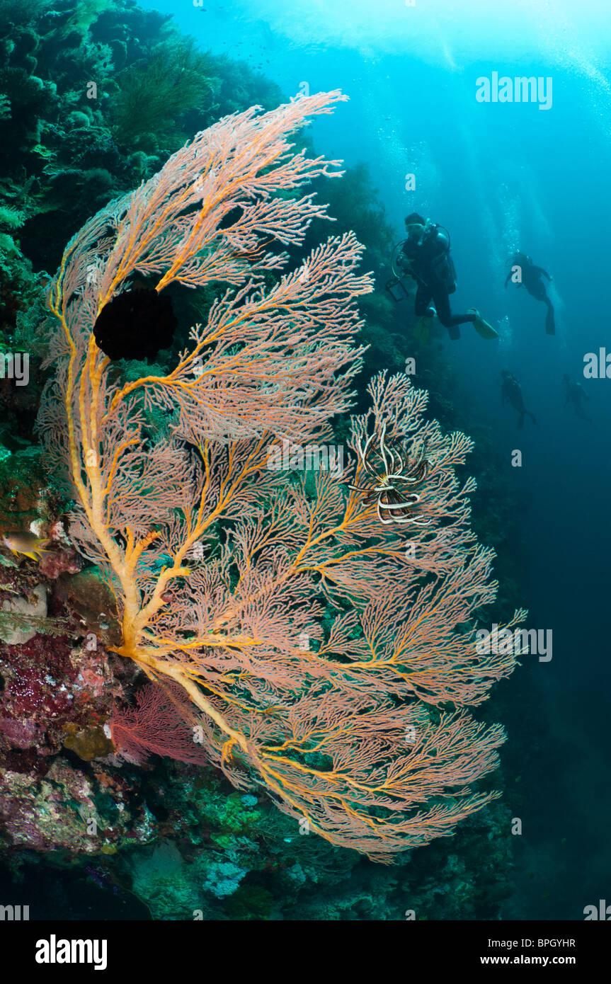 Sea fan and divers, Menjangan Island, Bali, Indonesia. - Stock Image