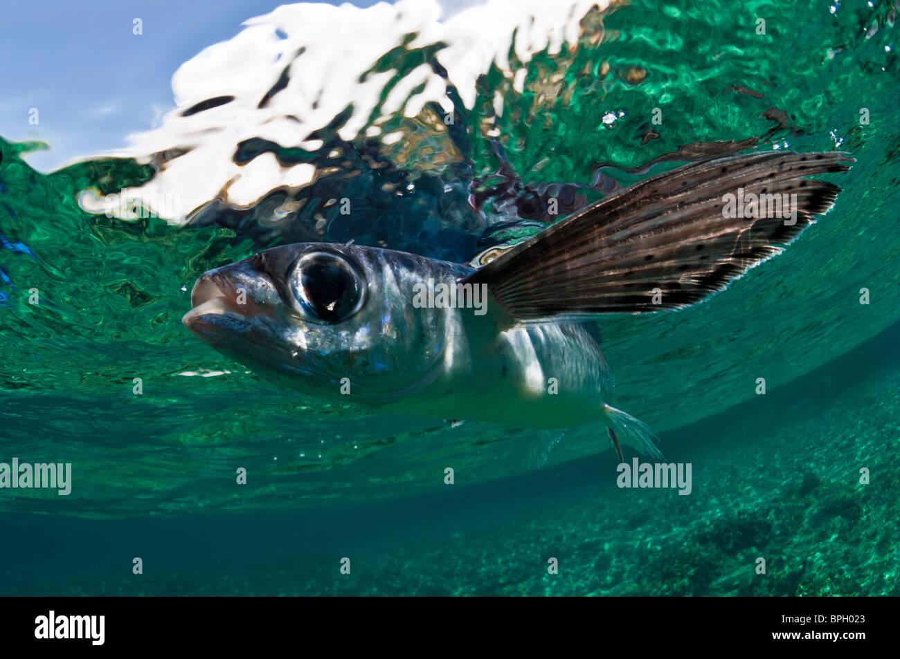Flying fish, Menjangan Island, Bali, Indonesia. - Stock Image