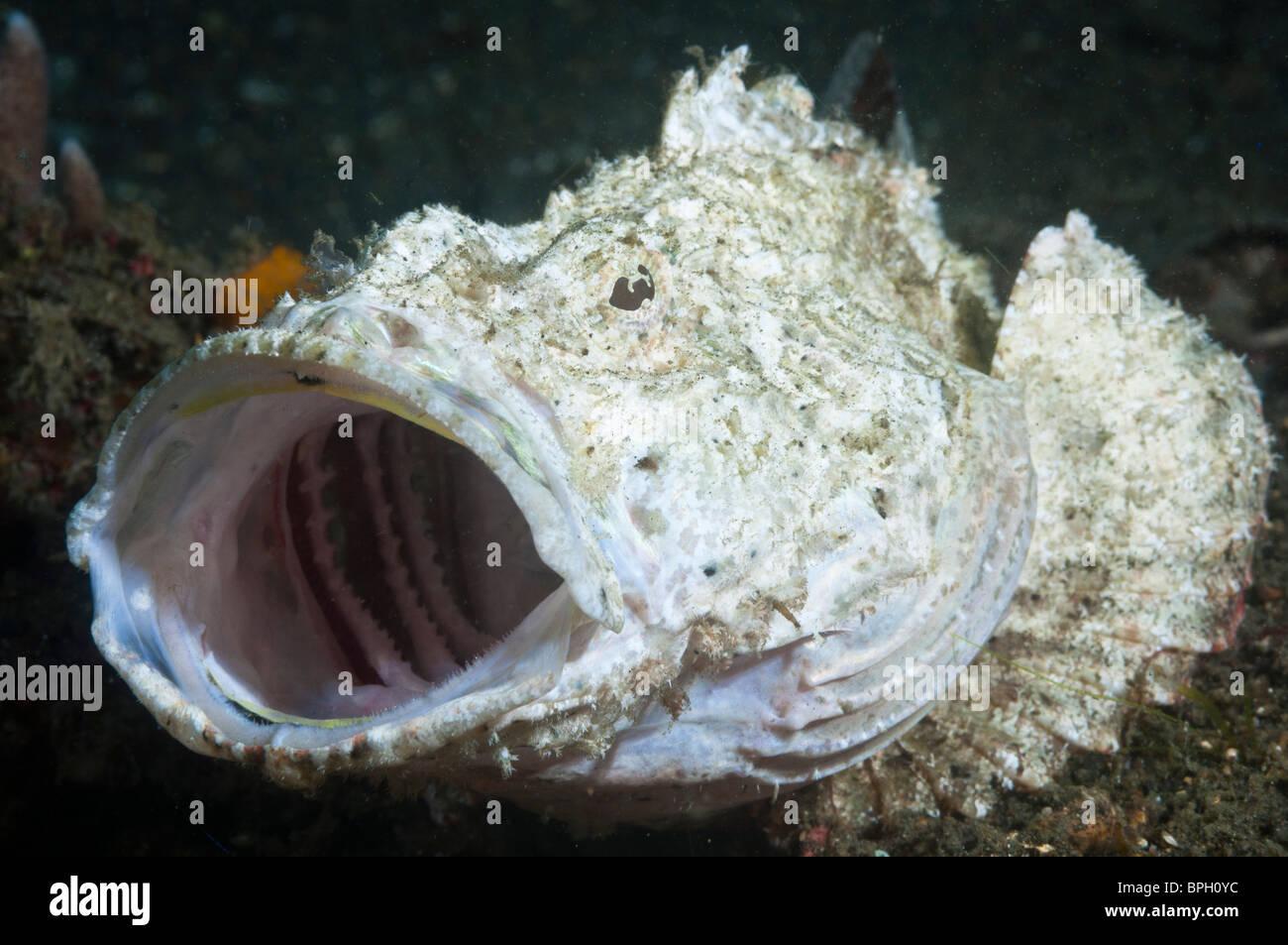Flasher Scorpionfish Yawning Lembeh Strait Sulawesi Indonesia Stock Photo Alamy
