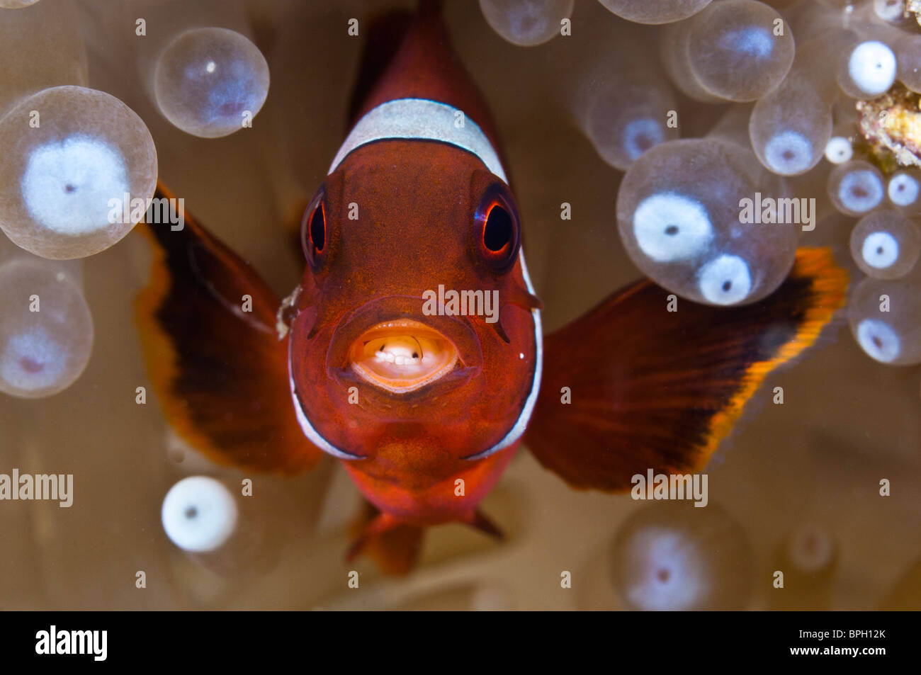 Spinecheek anemonefish with a Cymothoa parasite in its mouth, Lembeh Strait, Sulawesi, Indonesia. - Stock Image