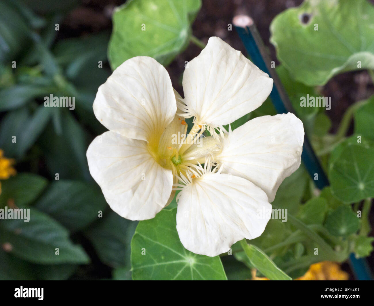 growing pale yellow nasturtium flower with leaves in a garden scene in Edmonds Washington Stock Photo