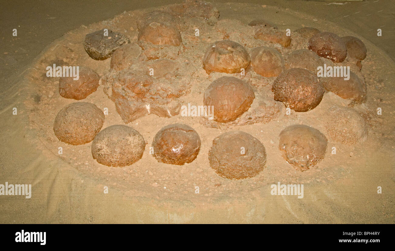 Fossilized Dinosaur nest with eggs found in 1994 at Algui Ulan tav in South Gobi Mongolia - Stock Image