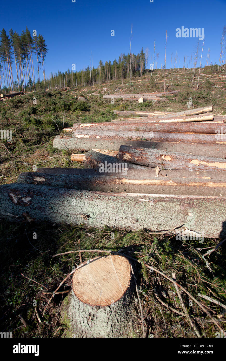 Spruce logs and tree stump at Finnish clear cutting area , Finland - Stock Image
