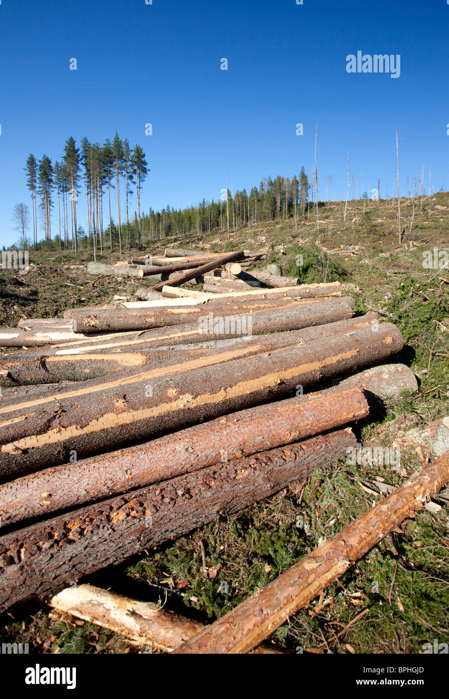 Pine and spruce logs at Finnish clearcutting area , Finland - Stock Image