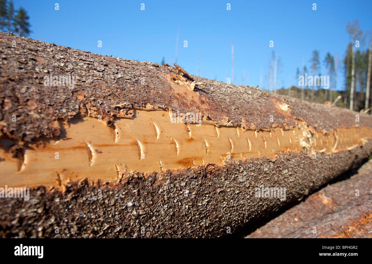 Closeup of a freshly cut spruce ( picea ) log surface where forest harvester cutting head marks are still shown - Stock Image