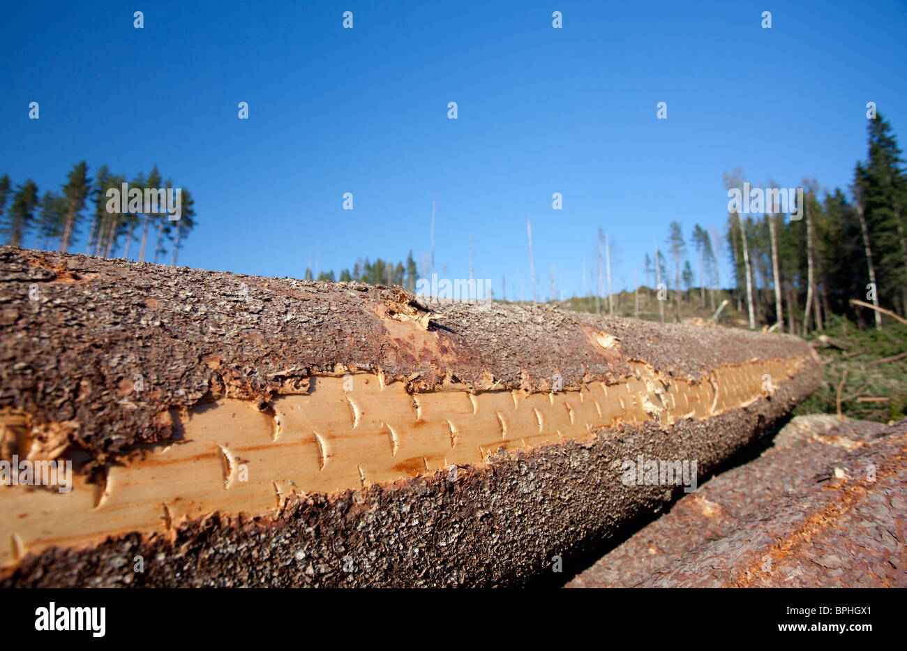 Closeup of a freshly cut spruce ( picea abies ) log surface where harvester cutting head marks are still shown , - Stock Image